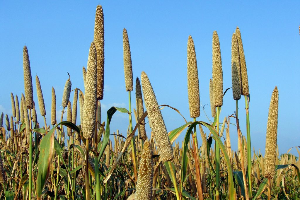 Millet being grown outdoors.