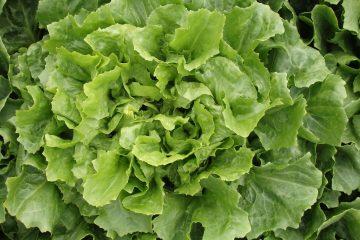 Bright green salad greens, uncut.