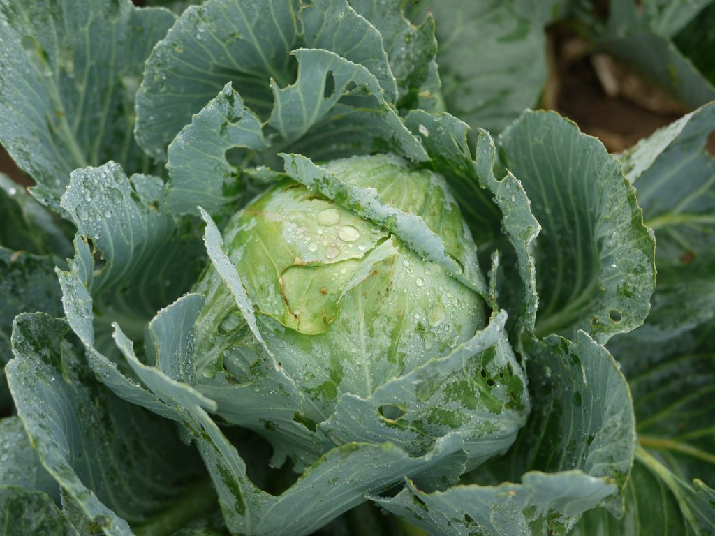 Raw cabbage growing outdoors.
