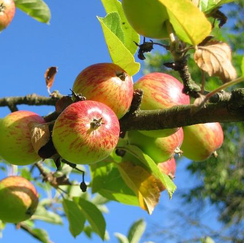 Apples growing on a tree outdoors.