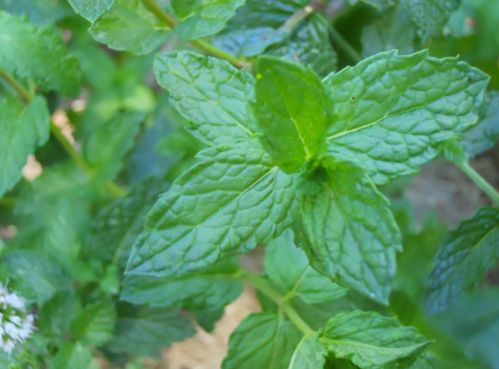 Mint growing outdoors.