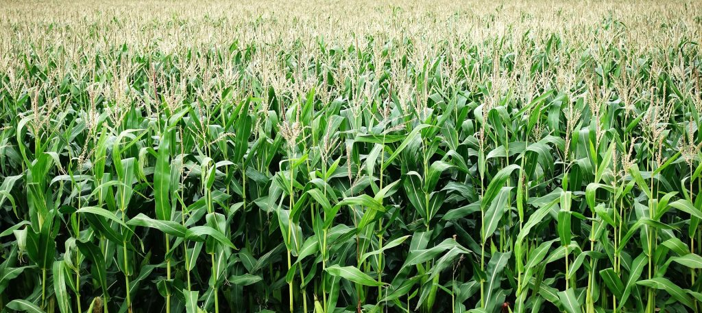 Corn growing outdoors in a field.