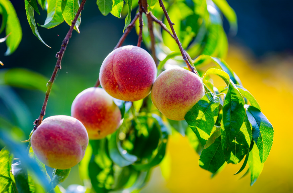 Peaches growing outdoors on a tree.