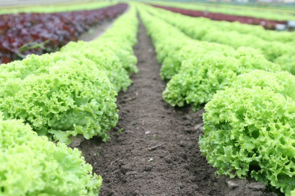 Row of salad greens growing in an outdoor garden.