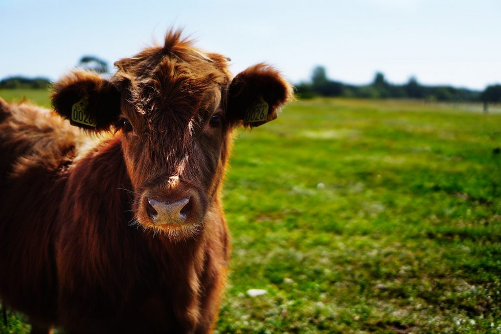 Brown cow in a field looking at camera.