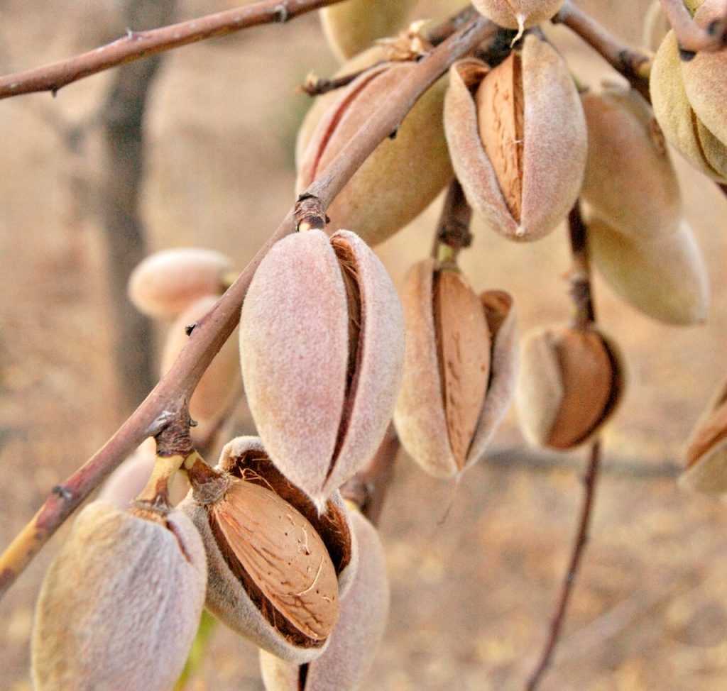 pistachios growing on a tree.